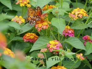 Gulf Fritillary Feasting on Lantana