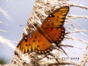 Gulf Fritillary on Ornamental Grass