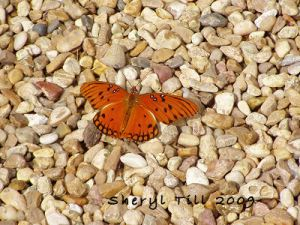 Gulf Fritillary on Pea Gravel Walkway