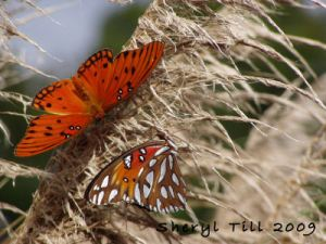 Pair of Gulf Fritillary Butterflies on Ornamental Grass