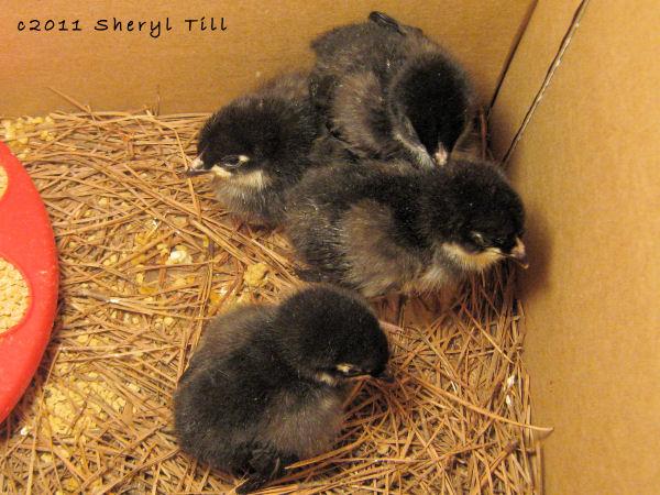 Black Minorca Chicks