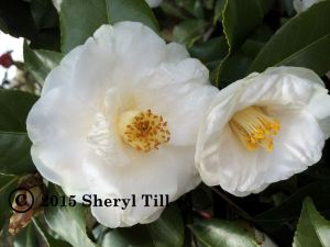 I don't know the name of this white camellia.