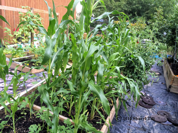 Raised Beds Corn600x450