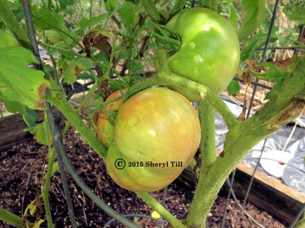 Tomatoes1 600x450