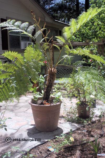 Tree Fern600x400